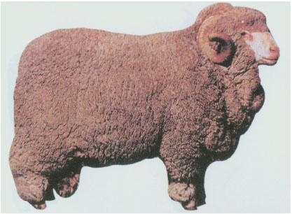 澳洲美利奴羊