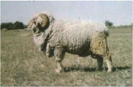 高加索细毛羊(公羊)