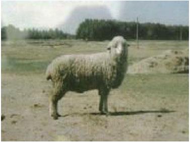 高加索细毛羊(母羊)