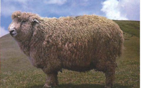 青海高原半细毛羊优点与缺点讲解-半细毛羊品种