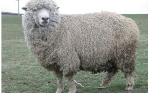 云南半细毛羊优点与缺点讲解-半细毛羊品种