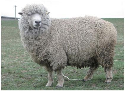 云南半细毛羊(母羊)