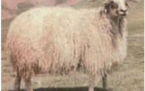西藏羊优点与缺点讲解-粗毛羊品种