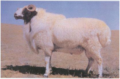 蒙古羊(公羊)