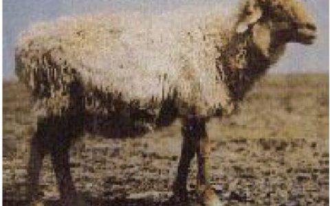 哈萨克羊优点与缺点讲解-粗毛羊品种