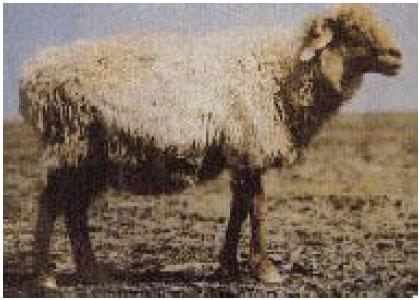 哈萨克羊(母羊)