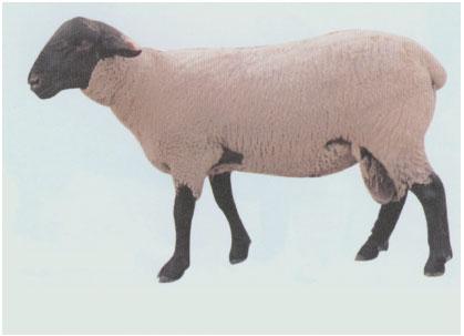 萨福克羊(公羊)