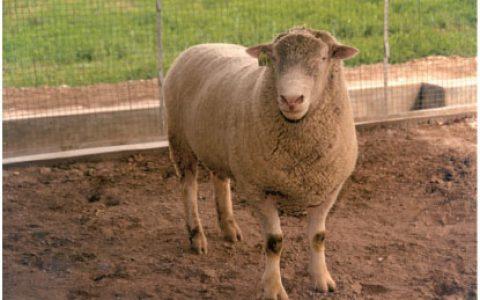 无角陶赛特羊养殖优点与缺点讲解-肉用羊品种