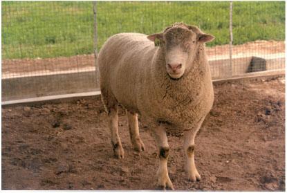 无角陶赛特羊(母羊)