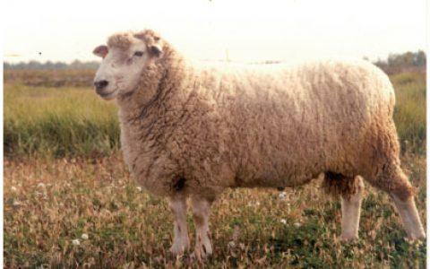 波德代羊养殖优点与缺点讲解-肉用羊品种