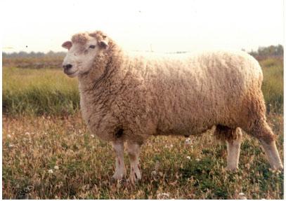 波德代羊(母羊)