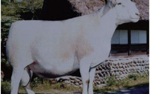 杜泊羊养殖优点与缺点讲解-肉用羊品种