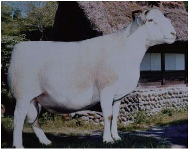 白头杜泊羊(公羊)