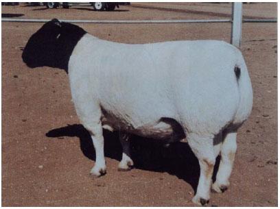 黑头杜泊羊(公羊)