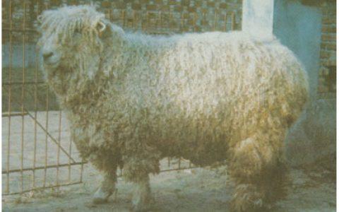 林肯羊养殖优点与缺点讲解-肉用羊品种