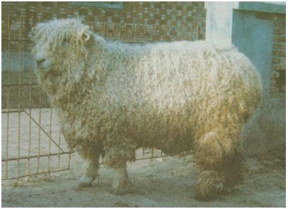 林肯羊(公羊)