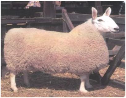 边区莱斯特羊(母羊)