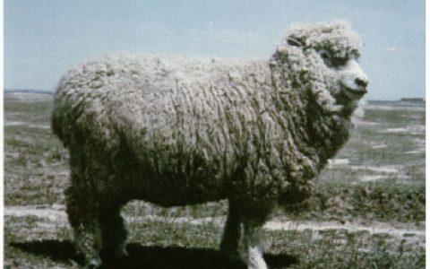 考力代羊养殖优点与缺点讲解-肉用羊品种
