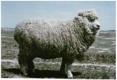 考力代羊(母羊)