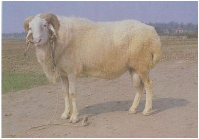 小尾寒羊(公羊)