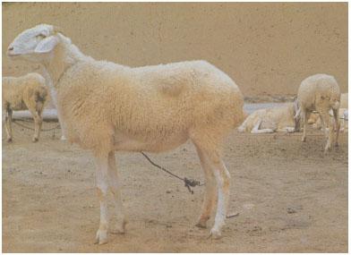 小尾寒羊(母羊)