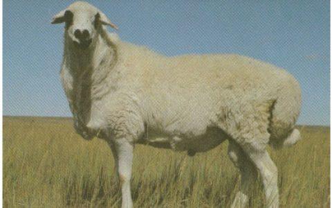 乌珠穆沁羊养殖优点与缺点讲解-裘皮羊品种
