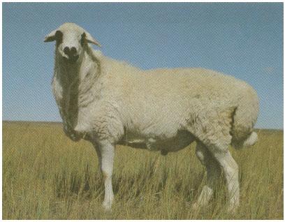 乌珠穆沁羊(公羊)