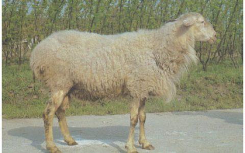 湖羊养殖优点与缺点讲解-羔皮羊品种