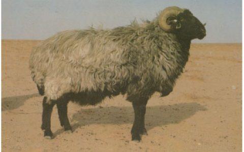中国卡拉库尔羊养殖优点与缺点讲解-羔皮羊品种