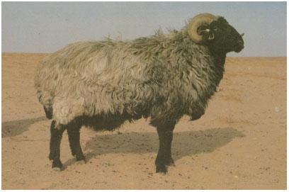 中国卡拉库尔羊(公羊)