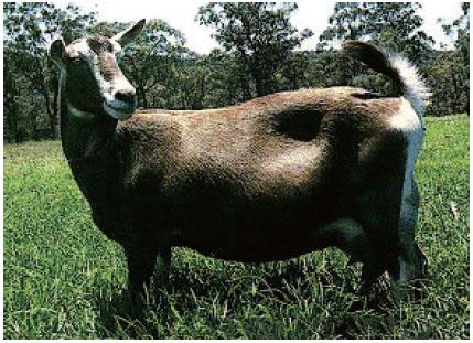 吐根堡奶山羊(母羊)