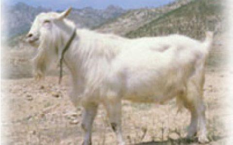 崂山奶山羊养殖优点与缺点讲解-乳用山羊品种