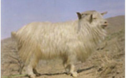 辽宁绒山羊养殖优点与缺点讲解-绒用山羊品种