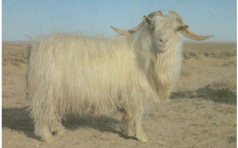 内蒙古白绒山羊养殖优点与缺点讲解-绒用山羊品种