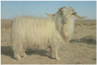 内蒙古白绒山羊(公羊)