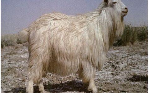 河西绒山羊养殖优点与缺点讲解-绒用山羊品种