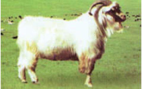 乌珠穆沁白绒山羊养殖优点与缺点讲解-绒用山羊品种