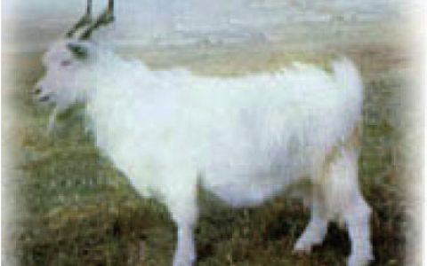 罕山白绒山羊养殖优点与缺点讲解-绒用山羊品种