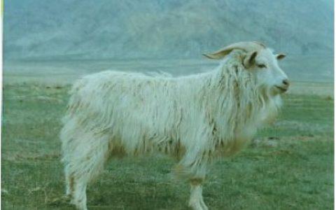 柴达木绒山羊养殖优点与缺点讲解-绒用山羊品种
