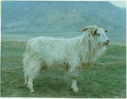 柴达木绒山羊(公羊)