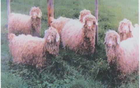 安哥拉山羊养殖优点与缺点讲解-毛用山羊品种