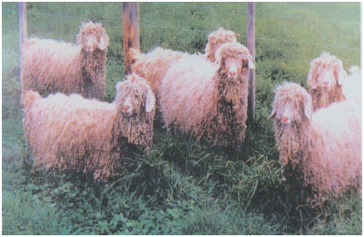 安哥拉山羊(母羊)