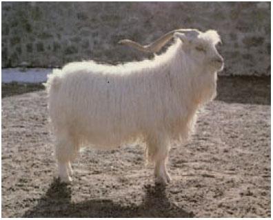 中卫山羊(公羊)