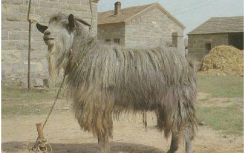 济宁青山羊养殖优点与缺点讲解-皮用山羊品种