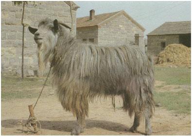 济宁青山羊(公羊)